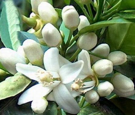 Hypertension, fleurs d'oranger